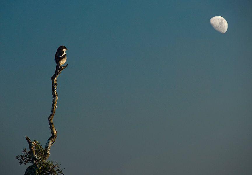 Vogeltje in maanlicht van Marcel van Balken