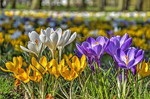Krokussen in wit, geel en paars