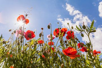 Klatschmohn auf einer Blumenwiese im Frühling von Werner Dieterich