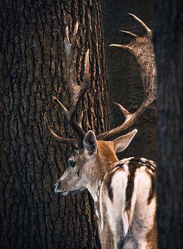Een damhert staat tussen twee bomen van Edith Albuschat