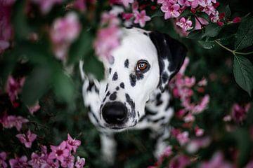 Dalmatiër hond tussen de bloemen van Lotte van Alderen