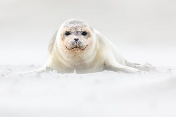 Jonge zeehond op het strand - Natuurlijk Wadden van Anja Brouwer Fotografie