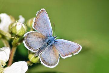 Heideblauwtje van Miranda Rijnen Fotografie