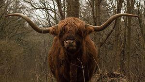 Etende Schotse Hooglander stier in de duinen met grote hoorns