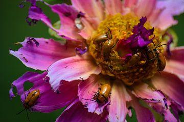 De bloem als maaltijd voor insecten van Winfred van den Bor