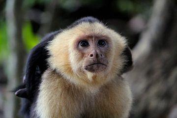 Capucijnaap Costa Rica von Berg Photostore