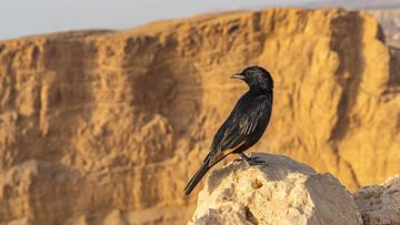 Schwarzer Vogel in Massada, Israel von Jessica Lokker