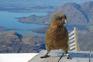 Kea bij Lake Wanaka in Nieuw Zeeland