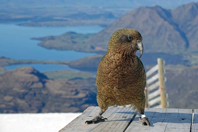 Kea bij Lake Wanaka in Nieuw Zeeland van Aagje de Jong