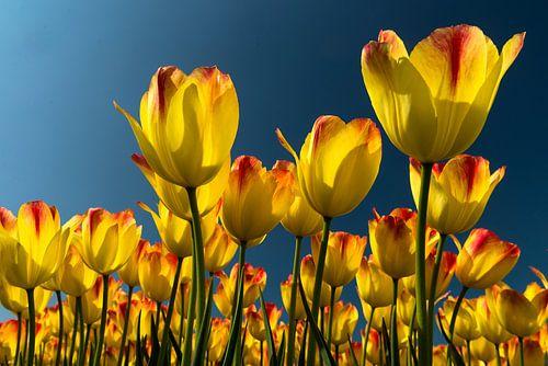 tulp geel von Hans Kerchman