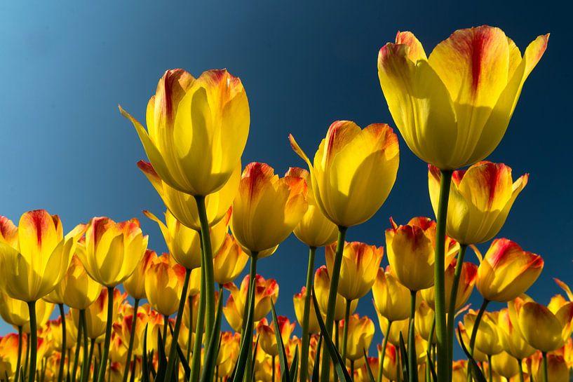 tulp geel van Hans Kerchman