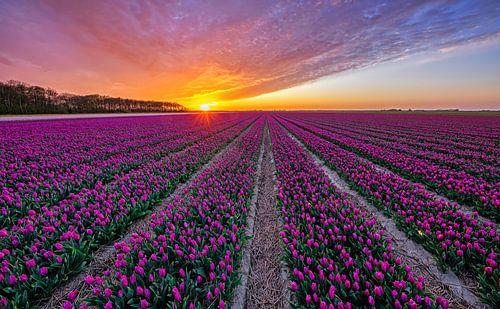 Tulpen op Texel.