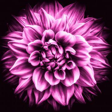 Macro bloem van een dahlia in roze van Dieter Walther