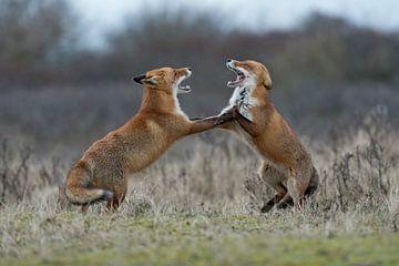 streitende Füchse... Rotfüchse *Vulpes vulpes* von wunderbare Erde
