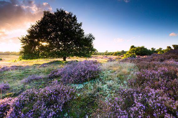 Eikeboom op heideveld in nederland met zonsondergang van Mark Scheper