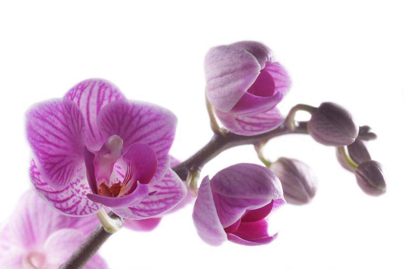 close-up paarse orchidee van Saskia Bon