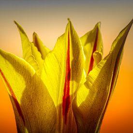 kroontjes Tulp van Dick Jeukens
