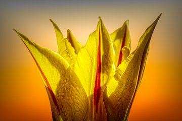 Kronen Tulpe von Dick Jeukens