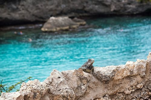Leguaan aan het zonnebaden in de baai van Playa Lagun in Curaçao van Bart De Brabander