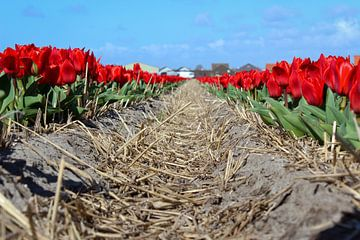 Rote Tulpen in der niederländischen Landschaft von Robin Jongerden