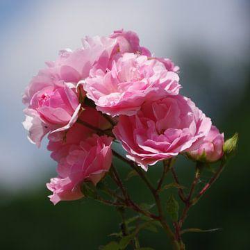Rosen van Gabi Siebenhühner