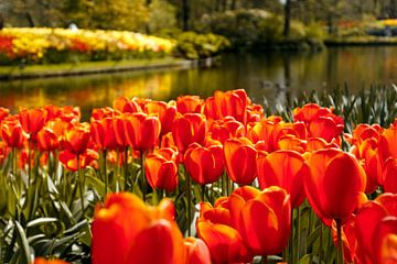 Hollandse tulpen van Stedom Fotografie