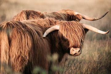 Schotse hooglanders in de avondzon op de heide van KB Design & Photography (Karen Brouwer)