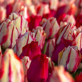 Wit met rode tulpen van Margreet Frowijn