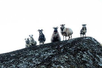 Oogcontact - Schapen op een rots / Sheep on a rock van Ellis Peeters