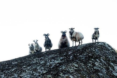 Oogcontact - Schapen op een rots / Sheep on a rock van
