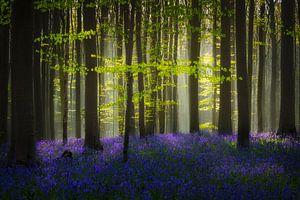 Bluebells Hallerbos van Peter Poppe