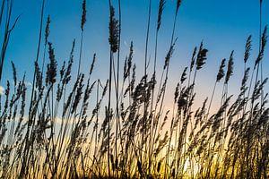 Zonsondergang met rietpalmen. van