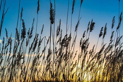 Zonsondergang met rietpalmen.