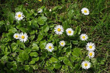 madeliefjes in het gras von Frans Versteden