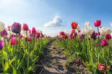 tulpen en de wolk