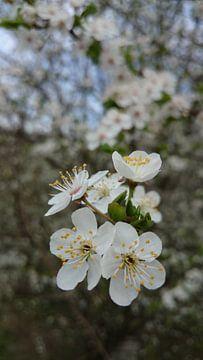Appelbloesem von Fleur Ruygh
