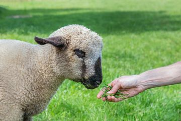 Arm mit Gras Fütterung von junge Schafe oder Lamm in einer grünen Wiese Landschaft von Ben Schonewille