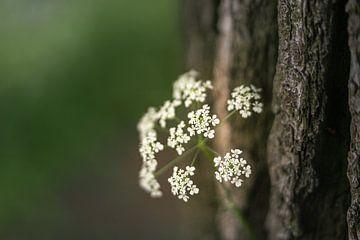 Weiße Kuh Petersilie Blumen von Mayra Pama-Luiten