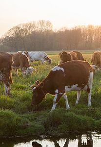 Grazende koe in de avondzon van