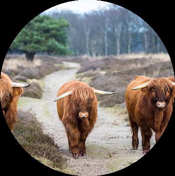 Schotten in Drenthe van Meint Brookman