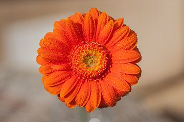 Gerbera oranje 4 von John Ouwens