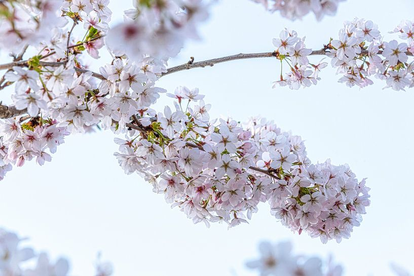 Bloesem van de kersenboom, lente! van Rietje Bulthuis