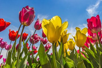 Tulpen in verschiedenen Farben im Noordoostpolder von Marc Venema
