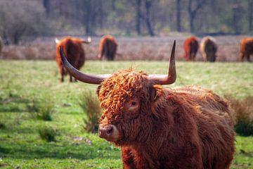 Schotse hooglander van Marc Slagter