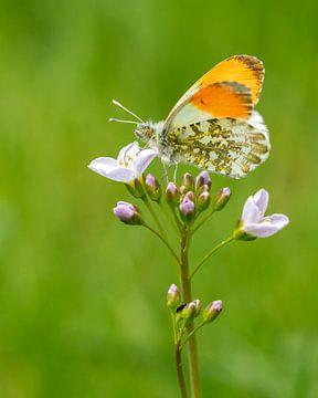De eerste vlinder in het voorjaar van Uwe Ulrich Grün