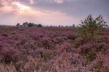 De Ginkelse Heide in bloei van Rijk van de Kaa