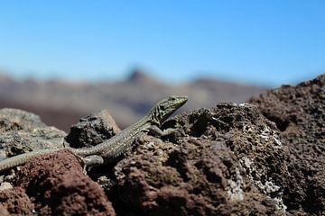 Een wilde hagedis in Tenerife van Ken Hendriks