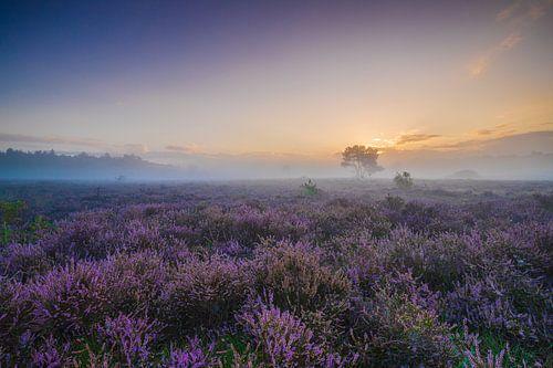 Bloeiende heide aan de Zuiderheide van Original Mostert Photography