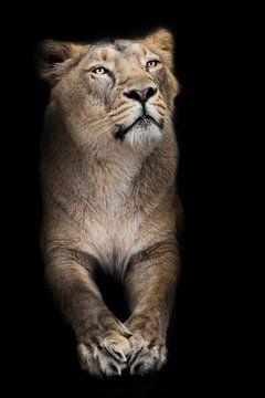 Stolze Löwin, vordere Hälfte Körper mit Pfoten sitzt stolz isoliert schwarzem Hintergrund