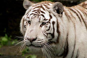 Witte tijger van Kim de Groot